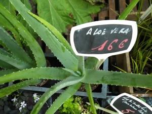 Comment cuisiner l aloe vera bien dans ma cuisine - Acheter une plante aloe vera ...
