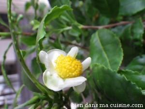 Une jolie fleur de théier. Mais dans le thé, c'est la feuille que l'on fait infuser :-)